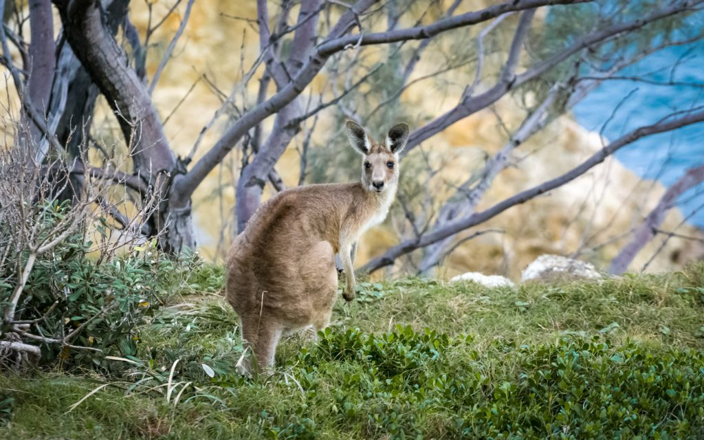 Kangaroo standing in a clearing